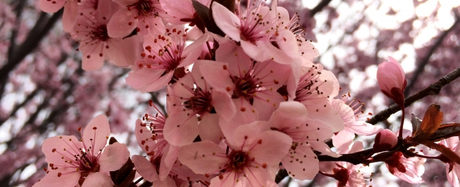 Cherry blossoms in the Spring